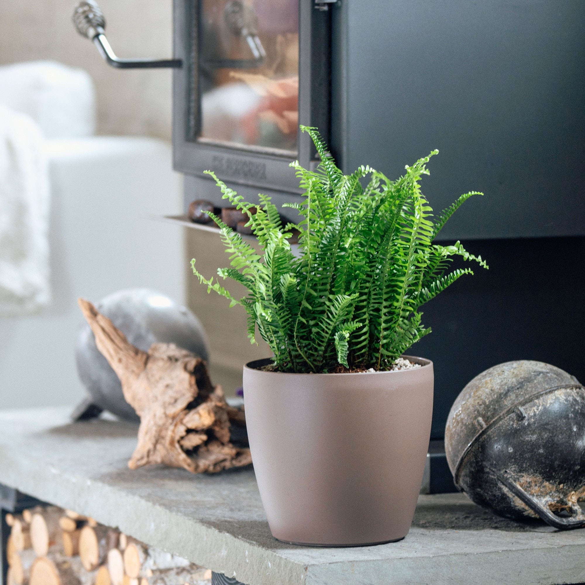 Kimberly Queen fern potted in Lechuza Classico Trend nutmeg planter - My City Plants