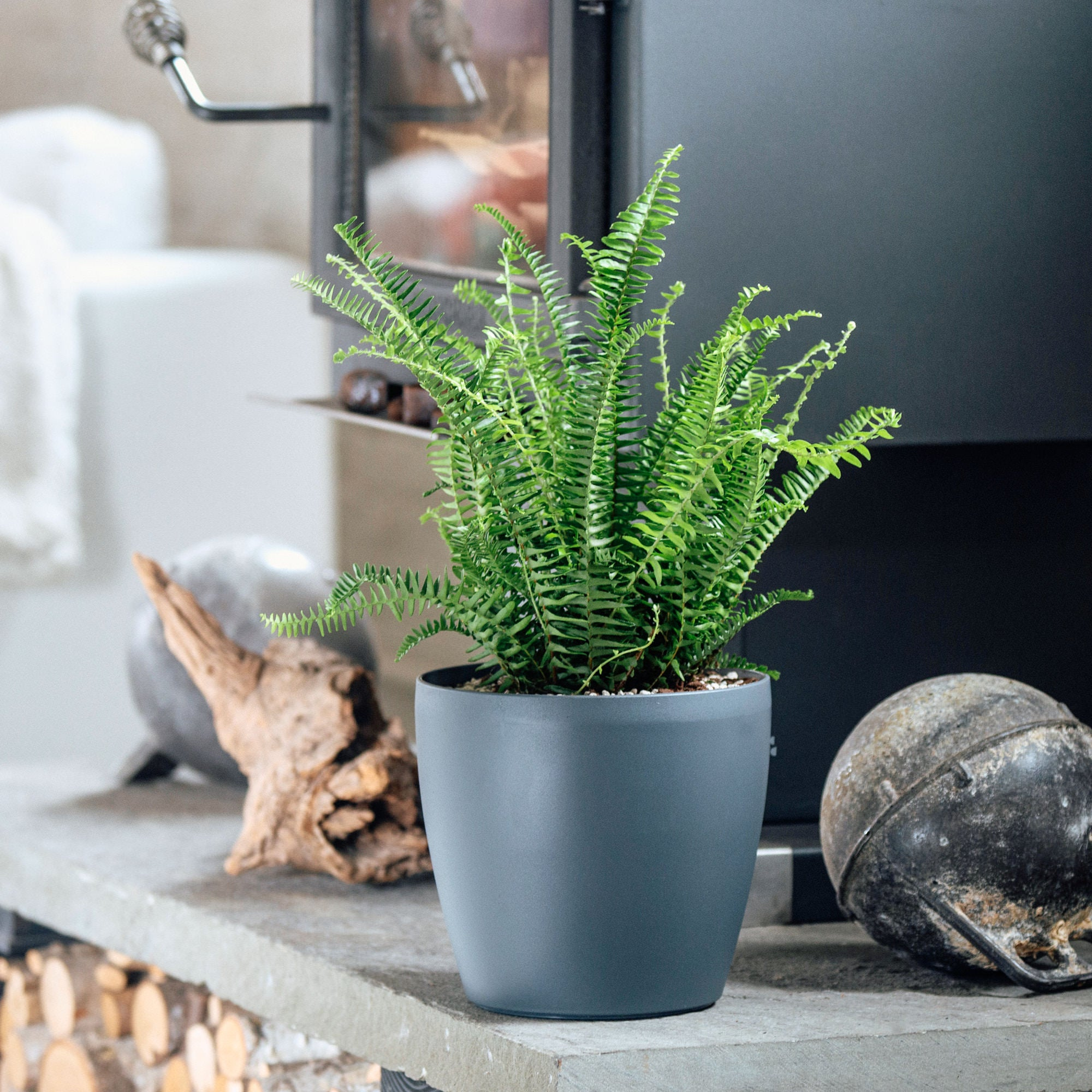 Kimberly Queen fern potted in Lechuza Classico Trend slate planter - My City Plants