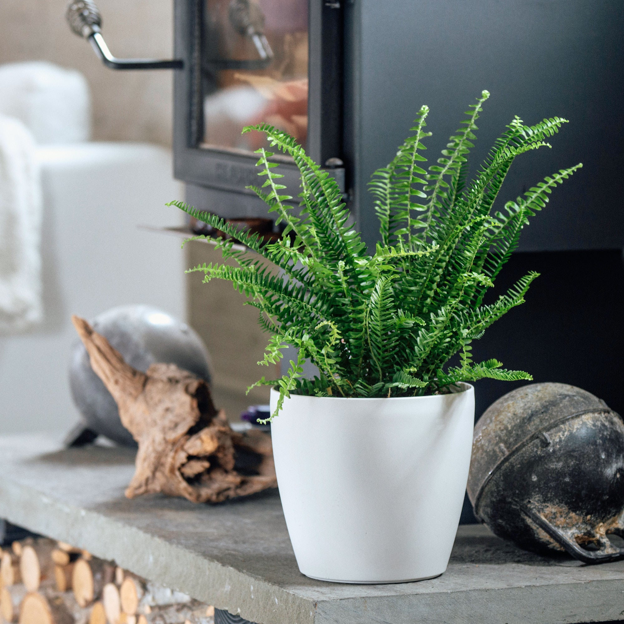 Kimberly Queen fern potted in Lechuza Classico Trend white planter - My City Plants