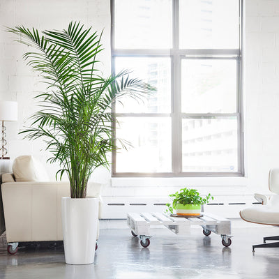 Majesty Palm potted in white Rondo planter