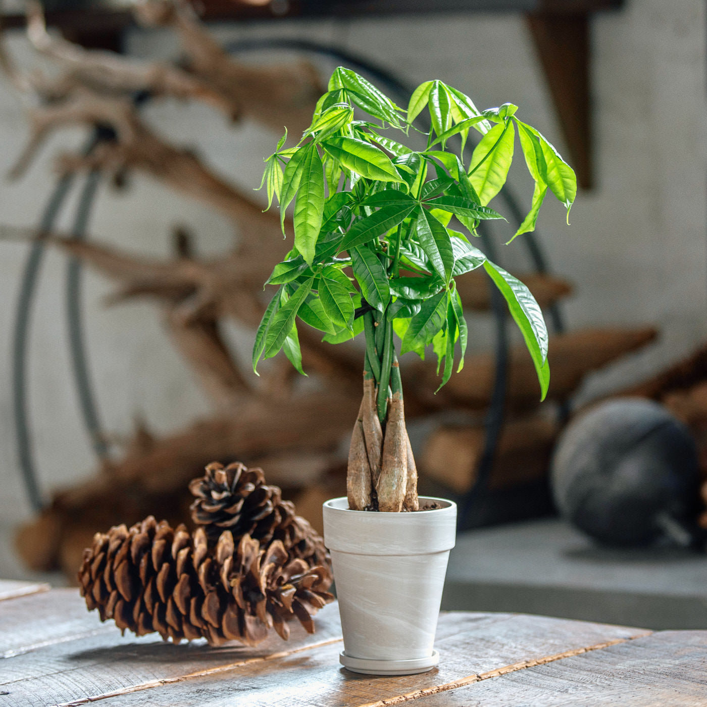 "Money Tree Placed In 5"" Clay Pot 