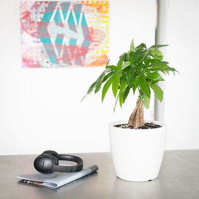 Money Tree potted in 9 inch white Classico planter