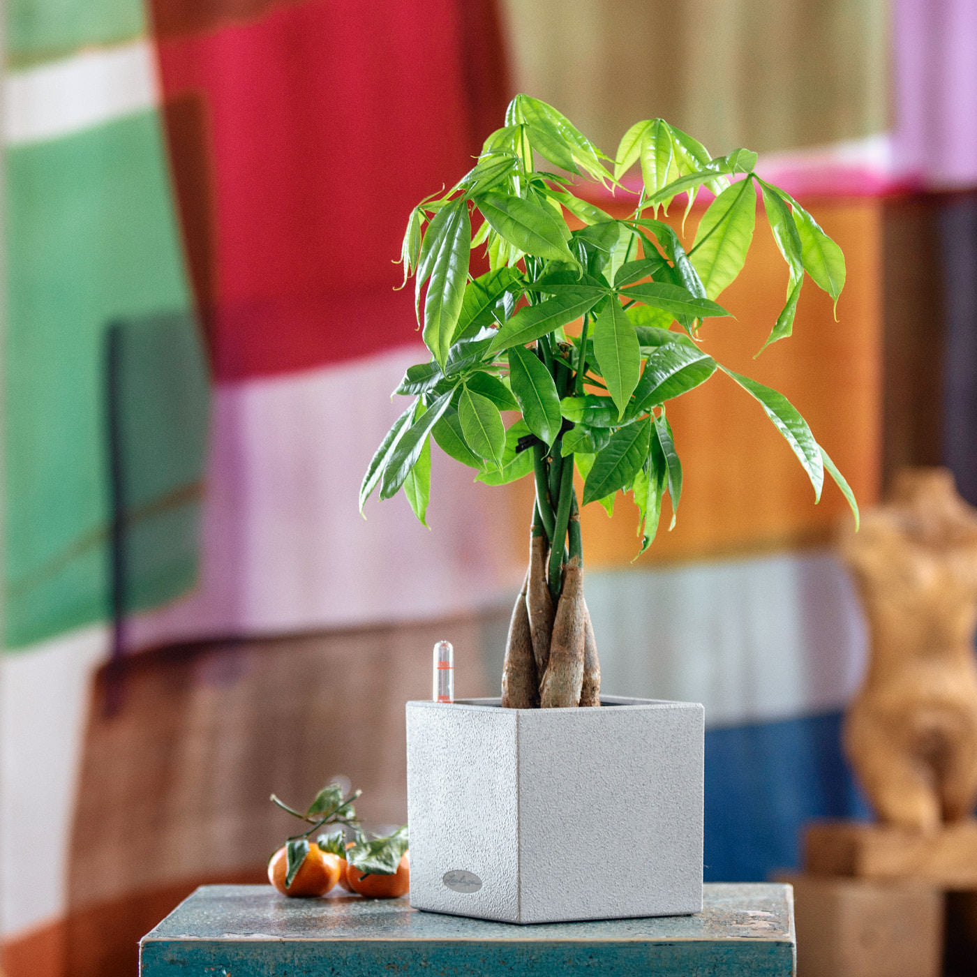 Money Tree Placed In Lechuza Canto 14 Beige Planter | My City Plants