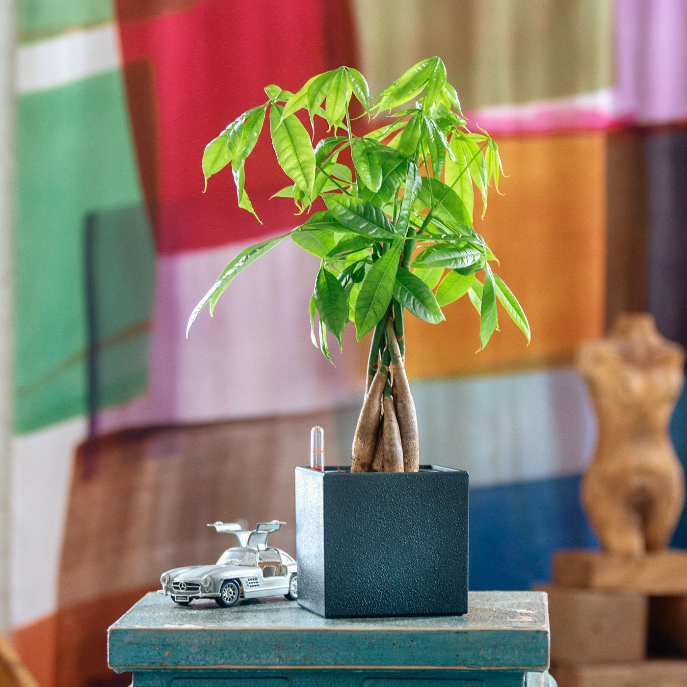 Money Tree Placed In Lechuza Canto 14 Black Planter | My City Plants