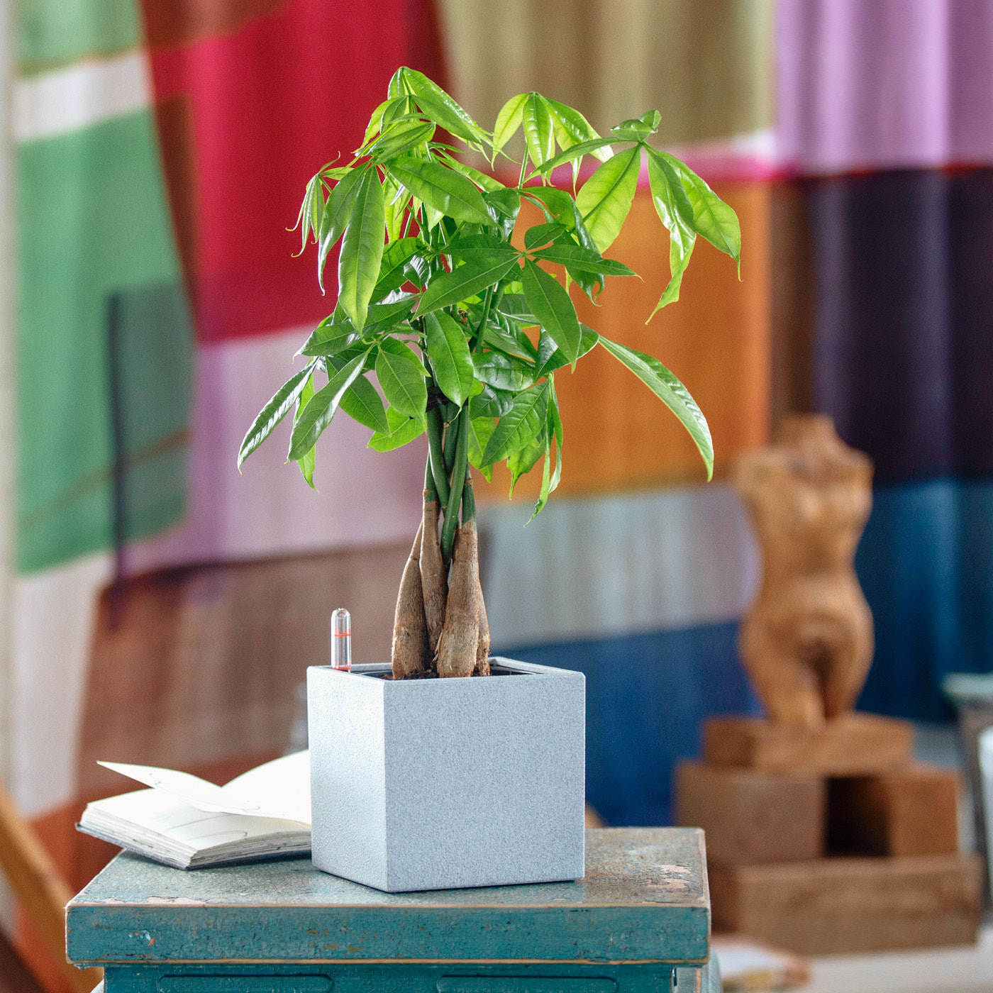 Money Tree Placed In Lechuza Canto 14 Gray Planter | My City Plants