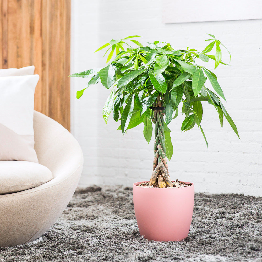 "Money Tree Potted In Classico 11"" Pink Planter