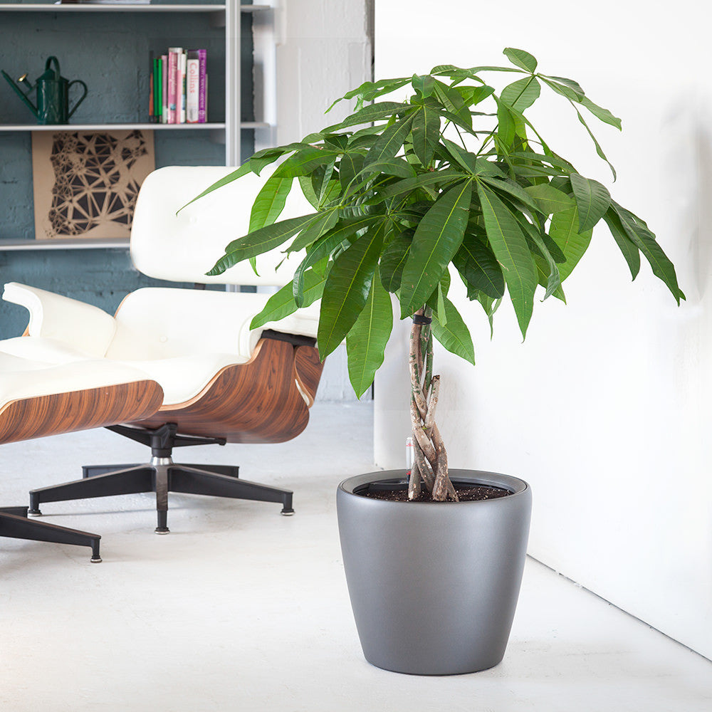 Money Tree Classico Charcoal Metallic