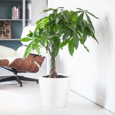 "Money Tree potted in 14"" Classico white planter"