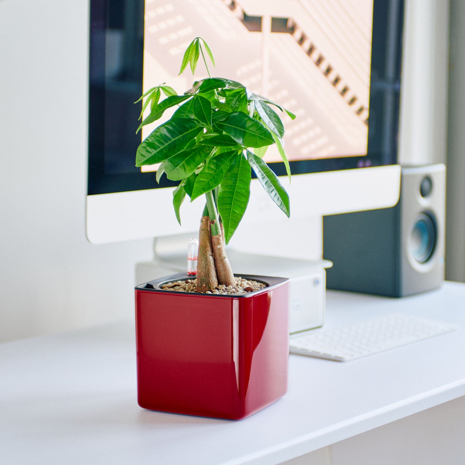 Money Tree In Lechuza Cube 14 Glossy Red Planter | My City Plants