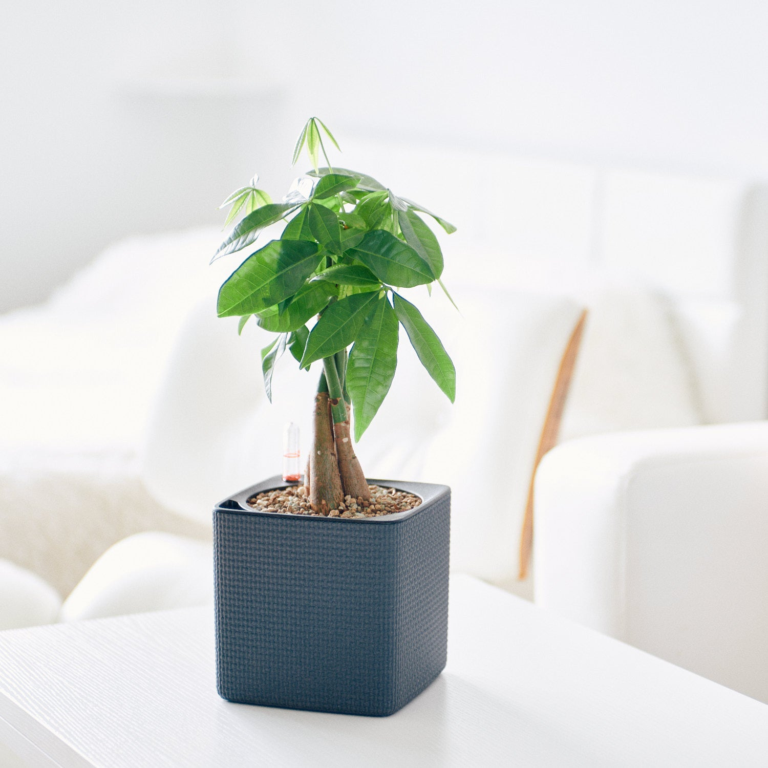 Money Tree Potted In Lechuza Cube 14 Slate Planter | My City Plants