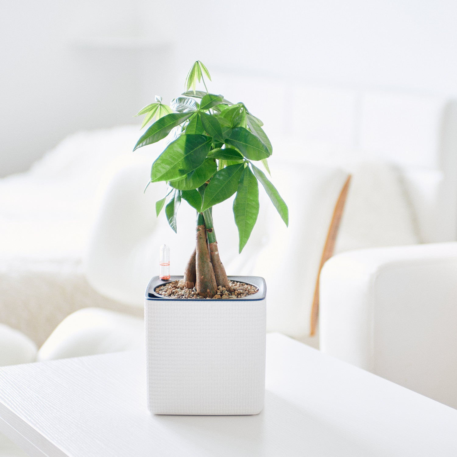 Money Tree Potted In Lechuza Cube 14 White Planter - My City Plants
