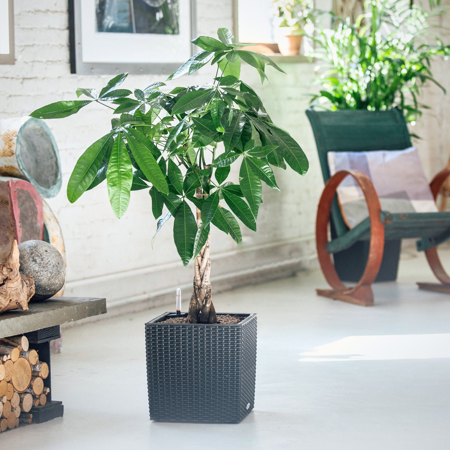 Money Tree potted in Lechuza Cube Cottage granite planter - My City Plants