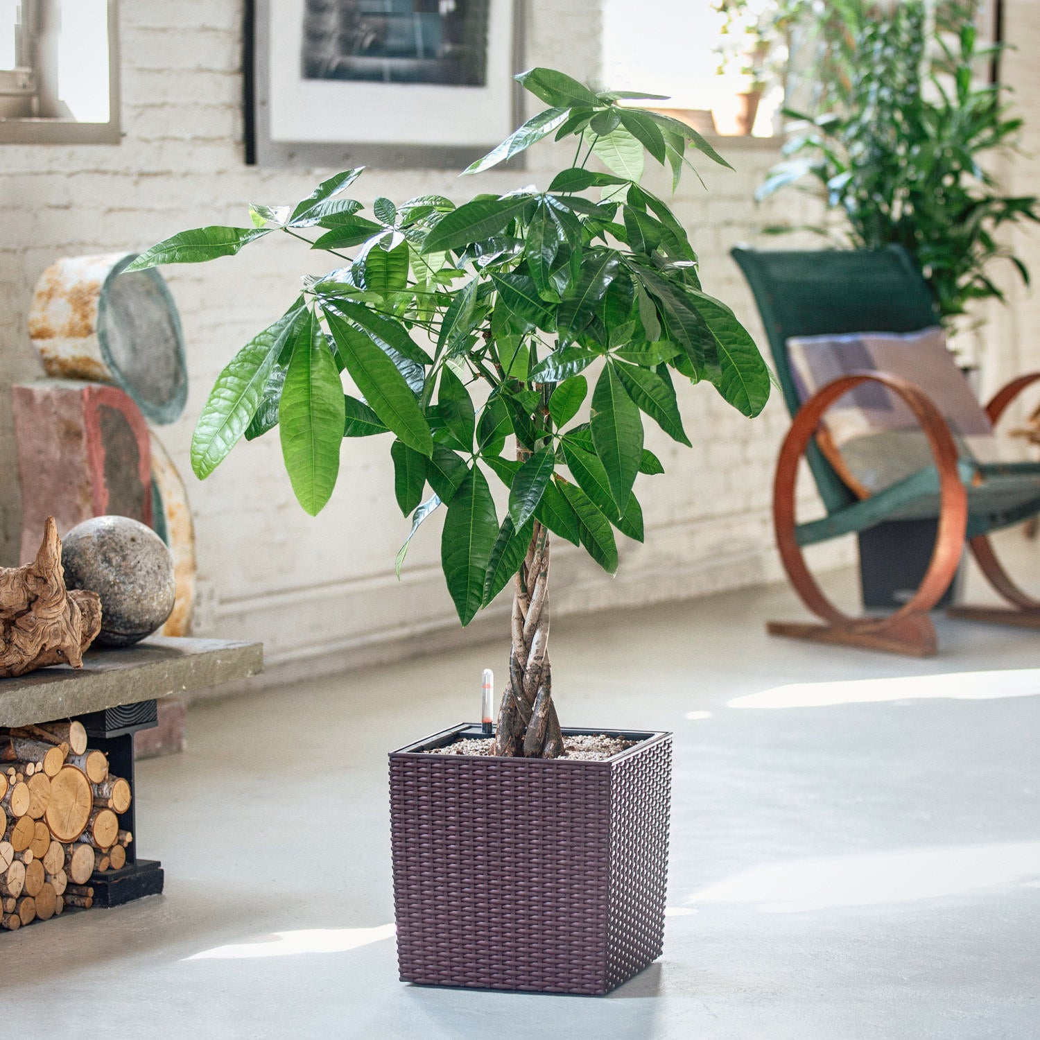 Money Tree potted in Lechuza Cube Cottage mocha planter - My City Plants
