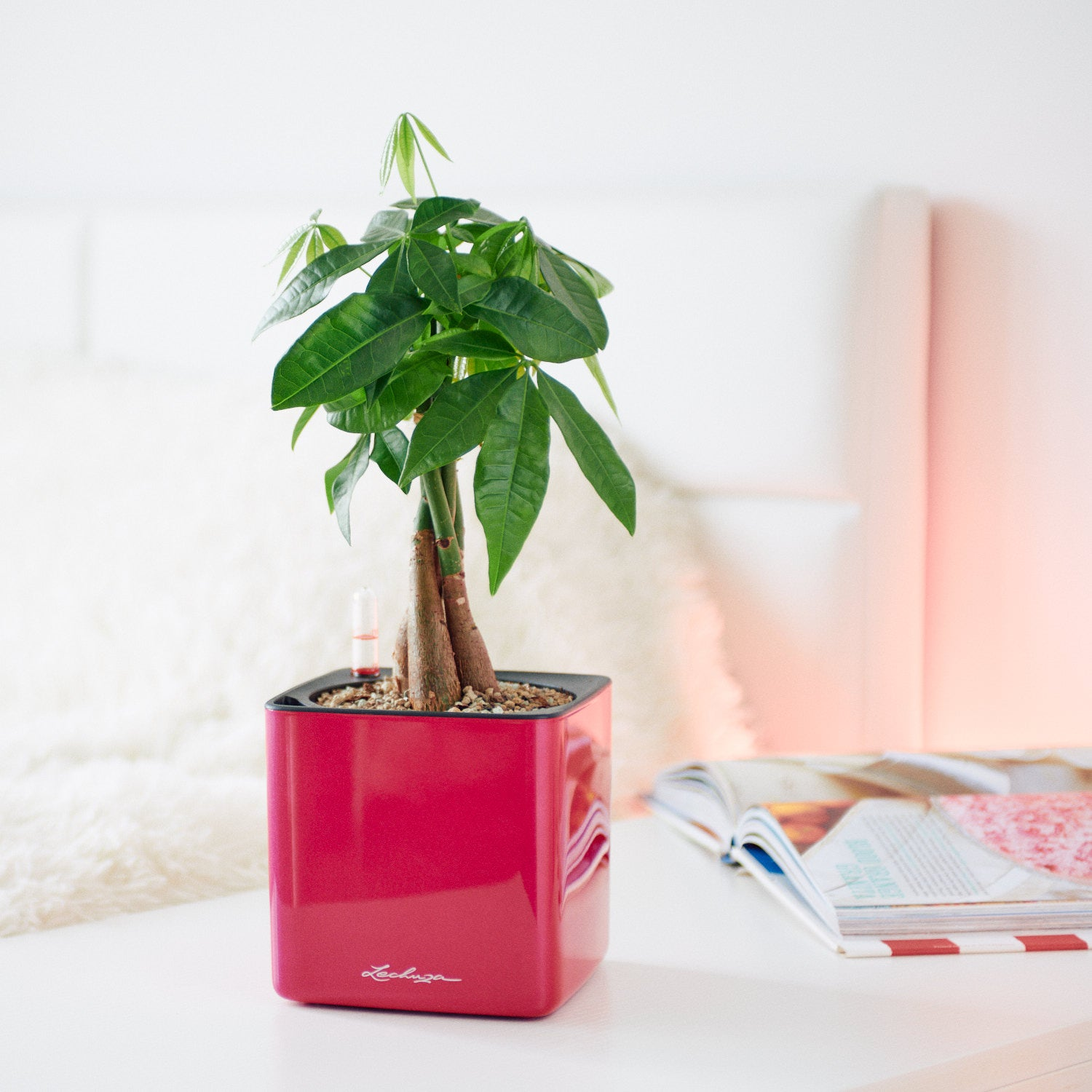 Money Tree In Lechuza Cube 14 Cherry Pie Planter | My City Plants