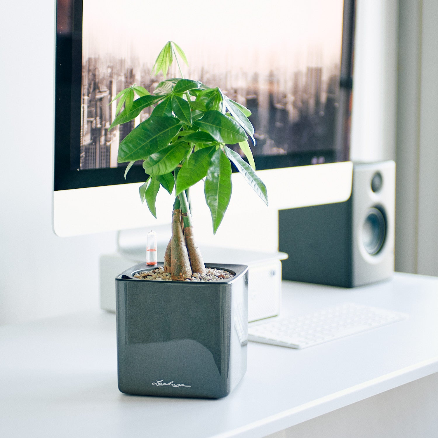 Money Tree In Lechuza Cube 14 Glossy Charcoal Planter | My City Plants