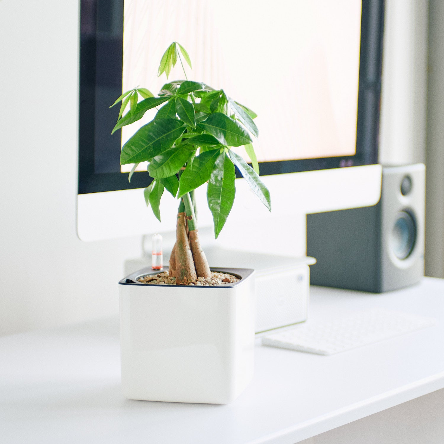 Money Tree In Lechuza Cube 14 Glossy White Planter | My City Plants