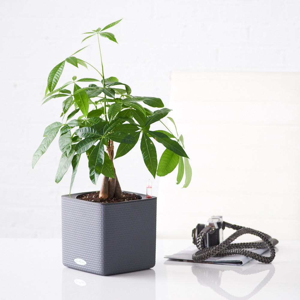 Money Tree Place In Lechuza Slate Cube Planter | My City Plants