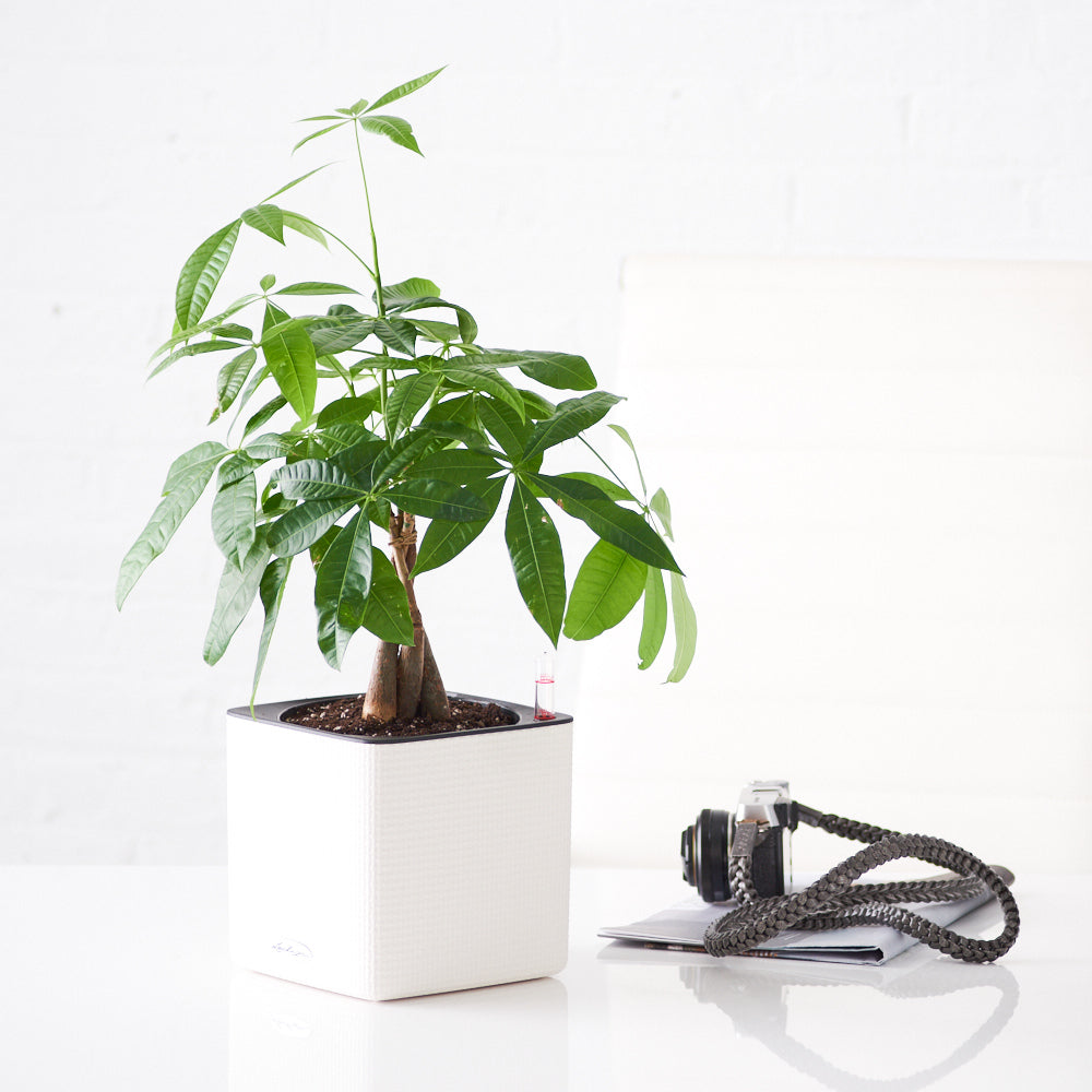 Money Tree Place In Lechuza White Cube Planter | My City Plants
