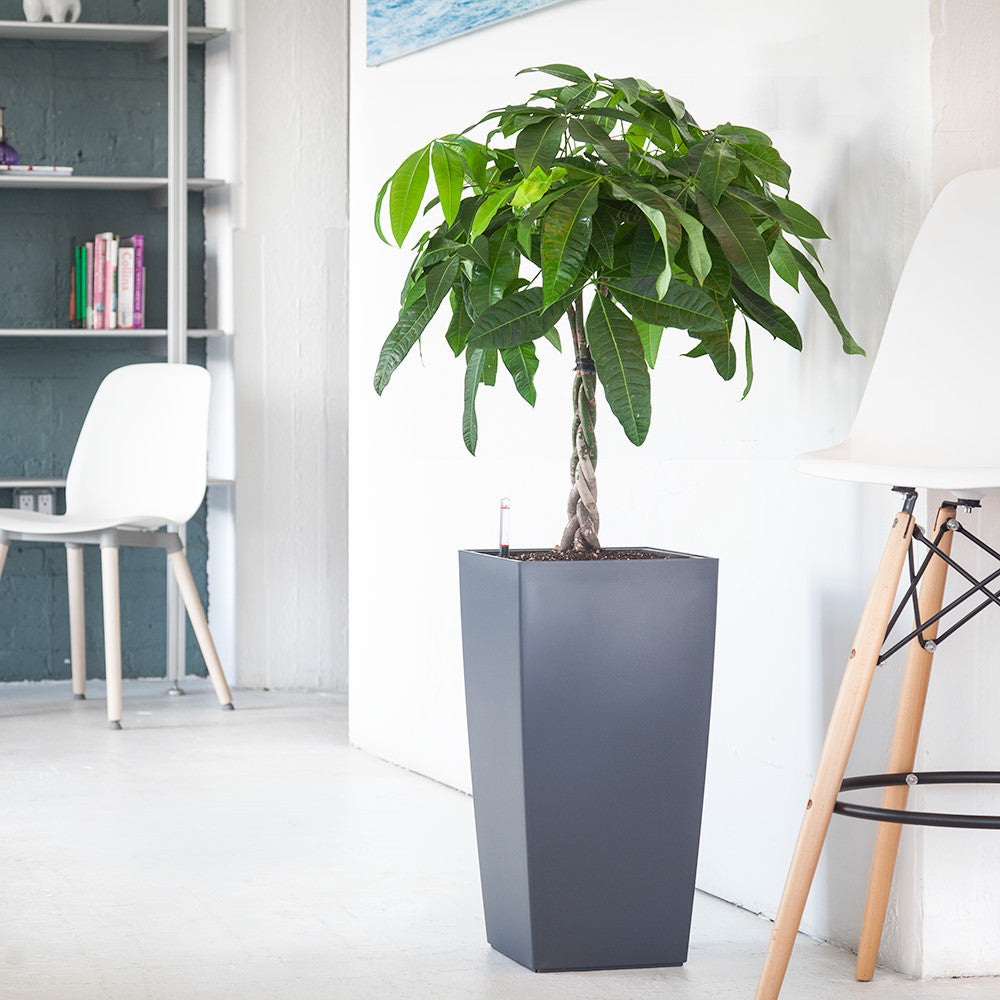 Money Tree potted in Cubico slate planter