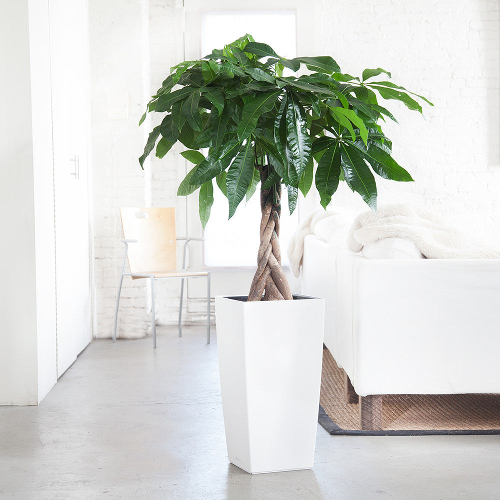 Money Tree potted in Cubico white planter