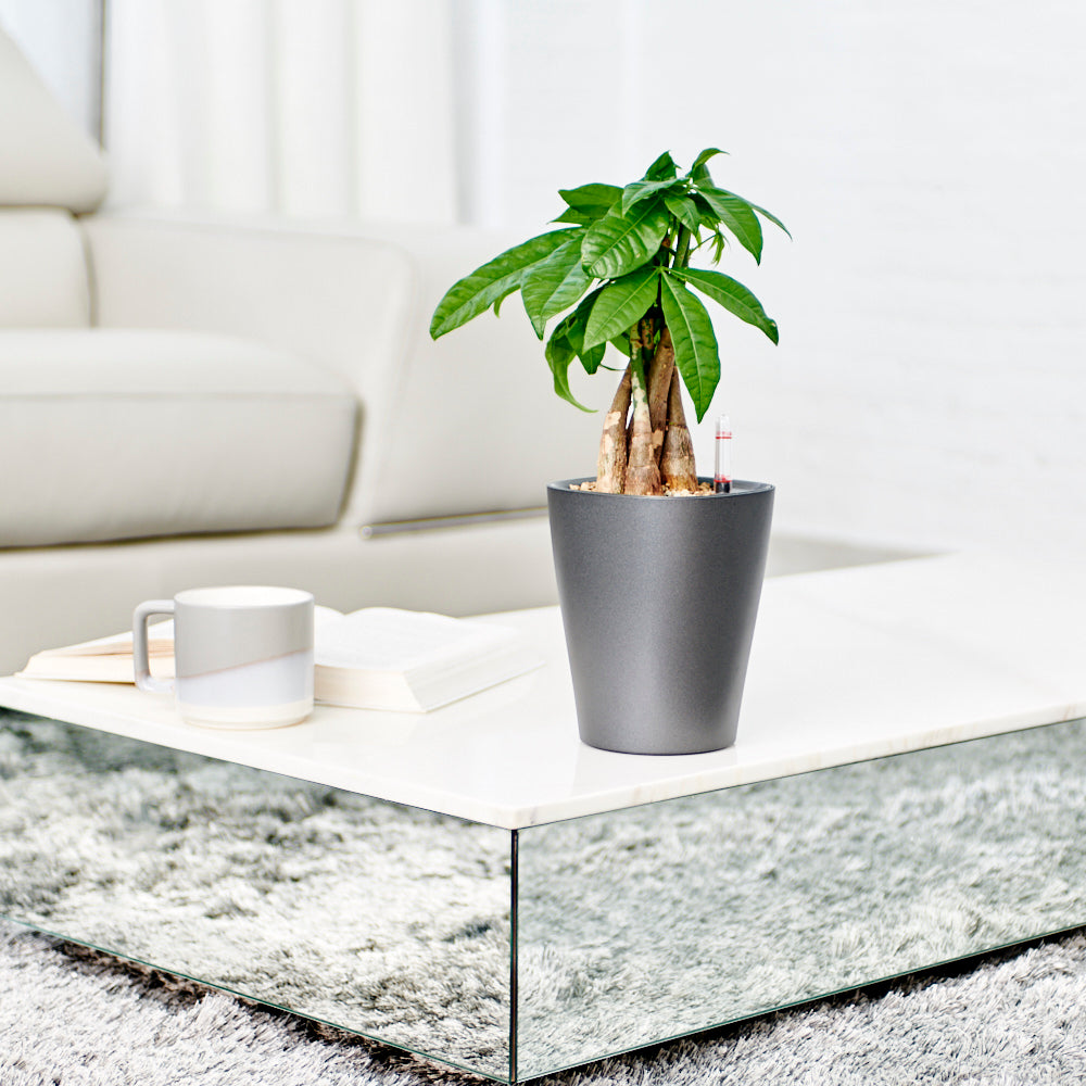 Money Tree Potted In Lechuza Deltini Charcoal Planter - Shop Online -My City Plants