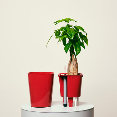 Money Tree Deltini Red