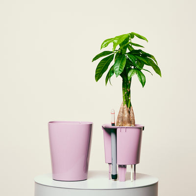 Money Tree Deltini Violet