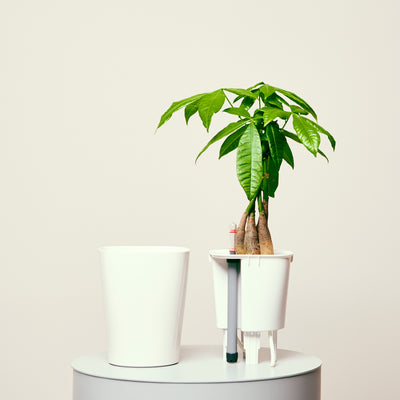 Money Tree Deltini White