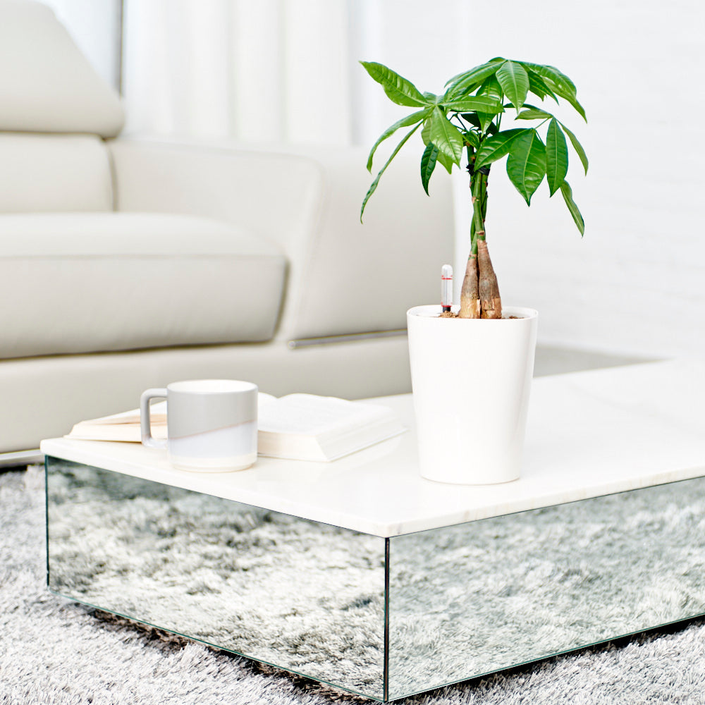 Money Tree Potted In Lechuza Deltini White Planter - Shop Online - My City Plants