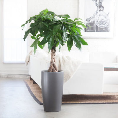 Money Tree potted in Rondo charcoal metallic