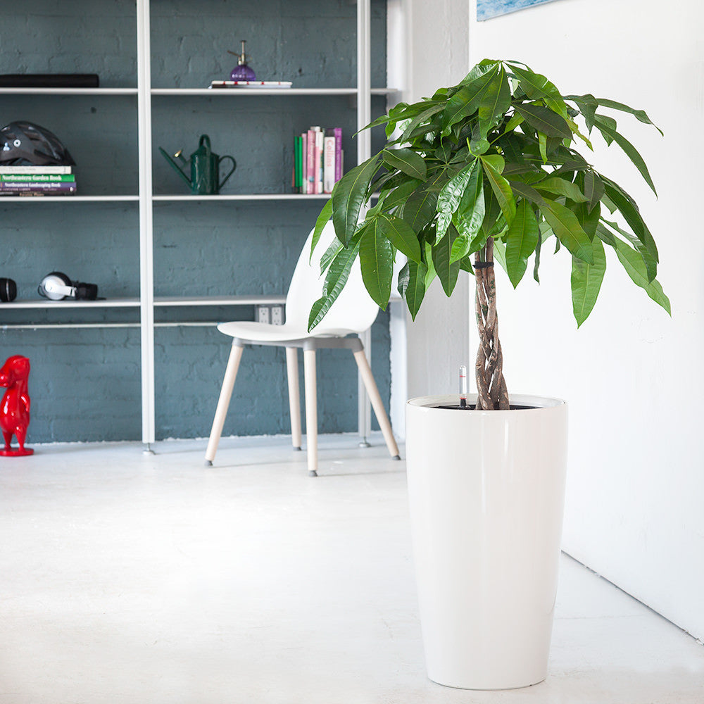 Money Tree potted in Rondo white planter