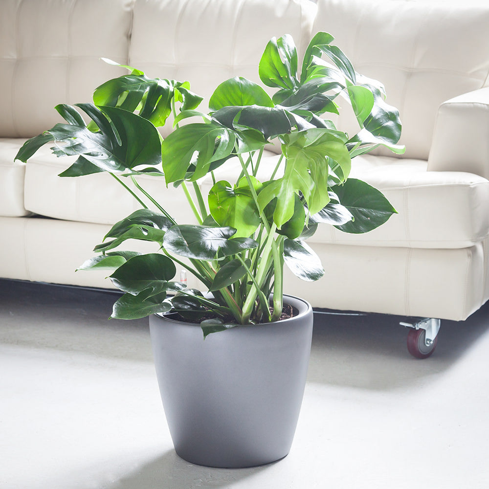 "Monstera Deliciosa potted in charcoal metallic 14"" Classico planter"