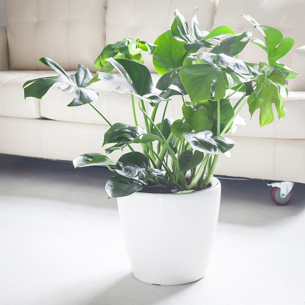 "Monstera Deliciosa potted in white 14"" Classico planter"