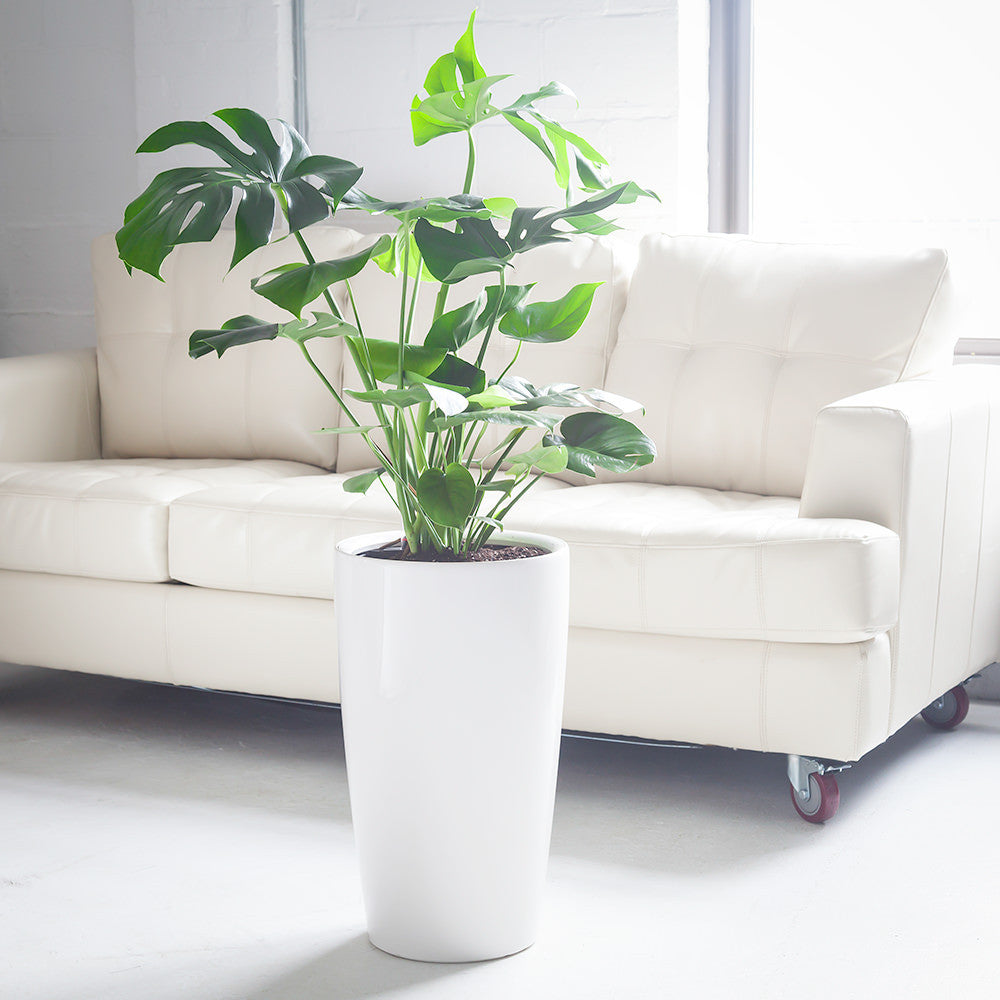 Monstera Deliciosa potted in white Rondo planter