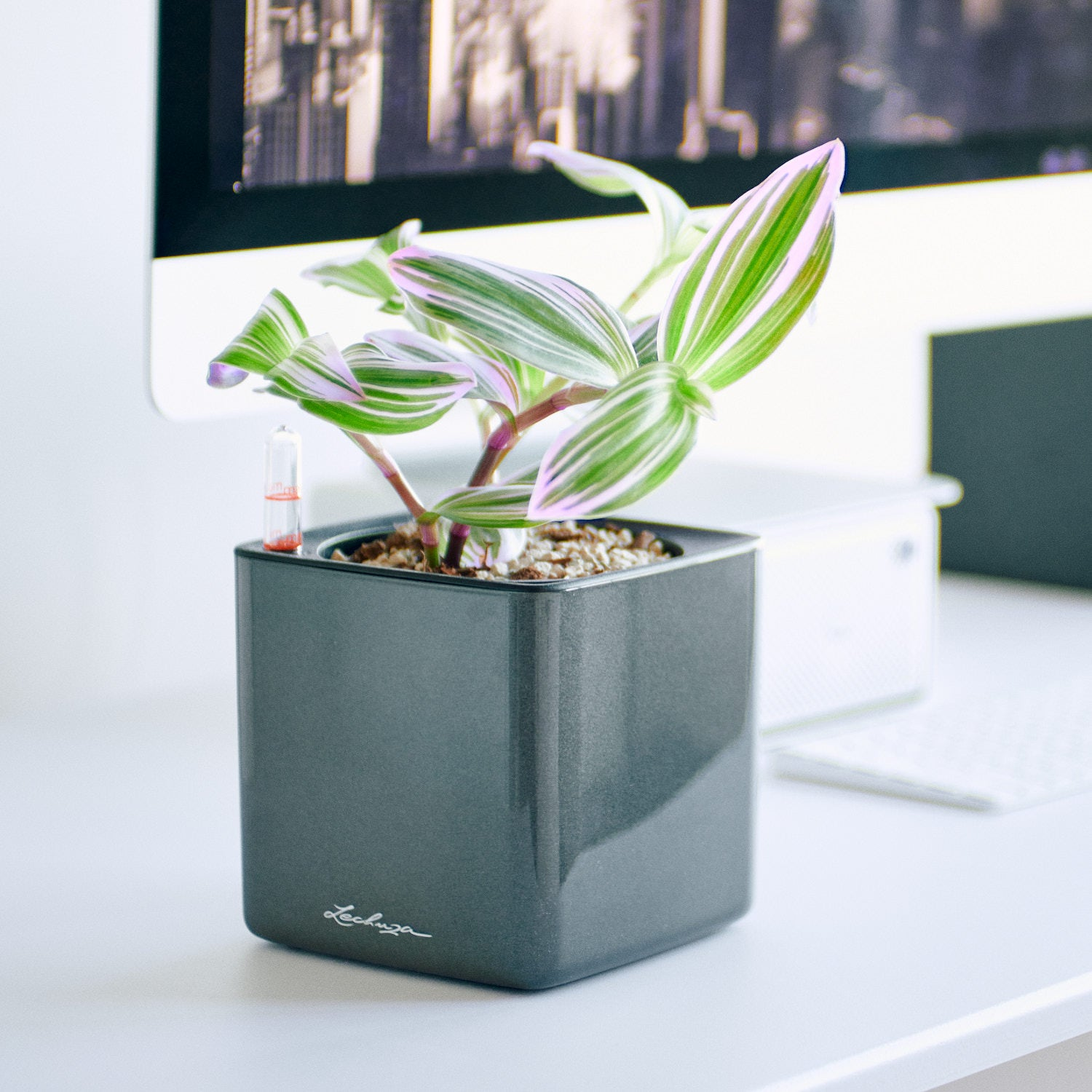 Nanouk In Lechuza Cube Glossy Charcoal Planter | My City Plants