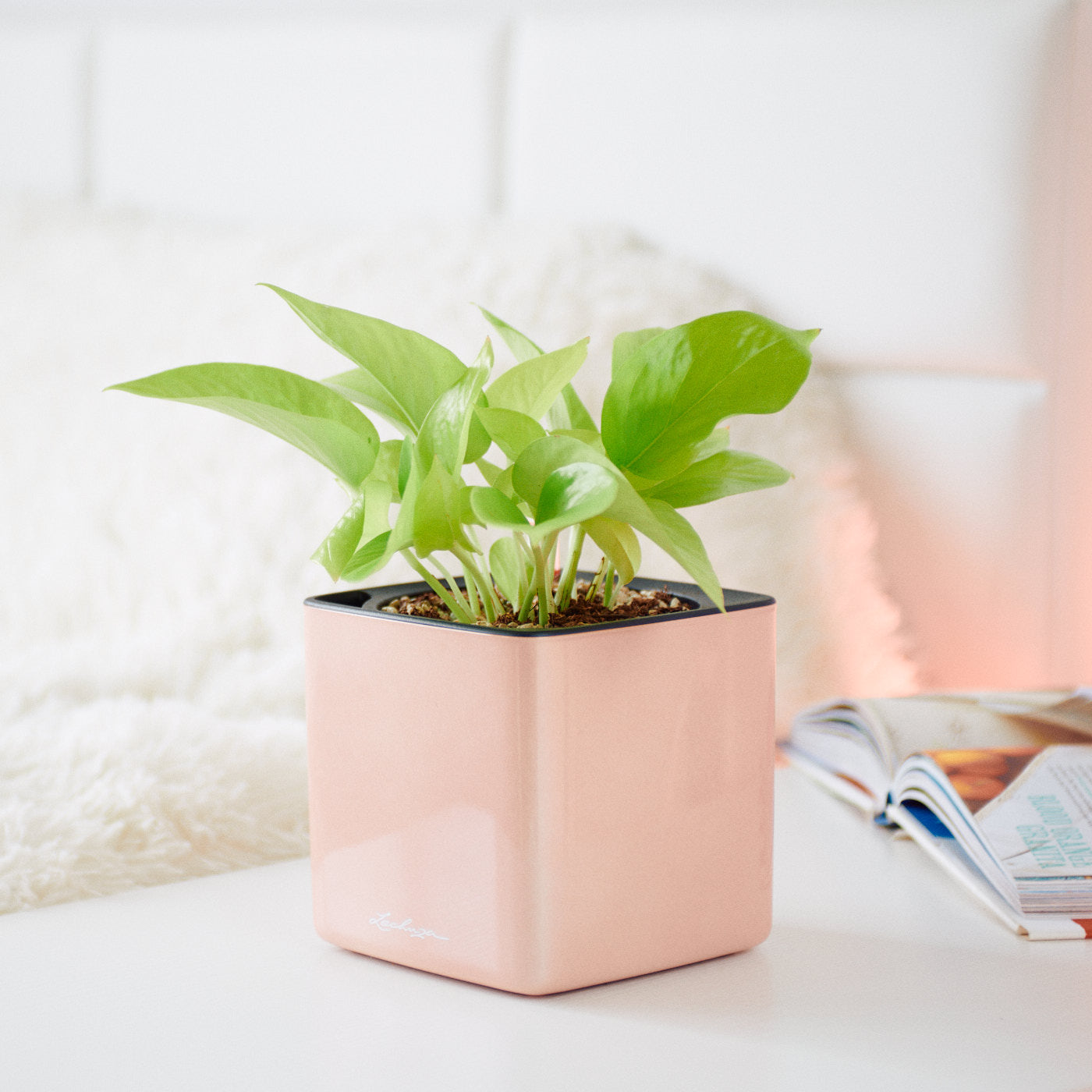 Pothos Neon In Lechuza Cube 14 Cashmere Planter | My City Plants