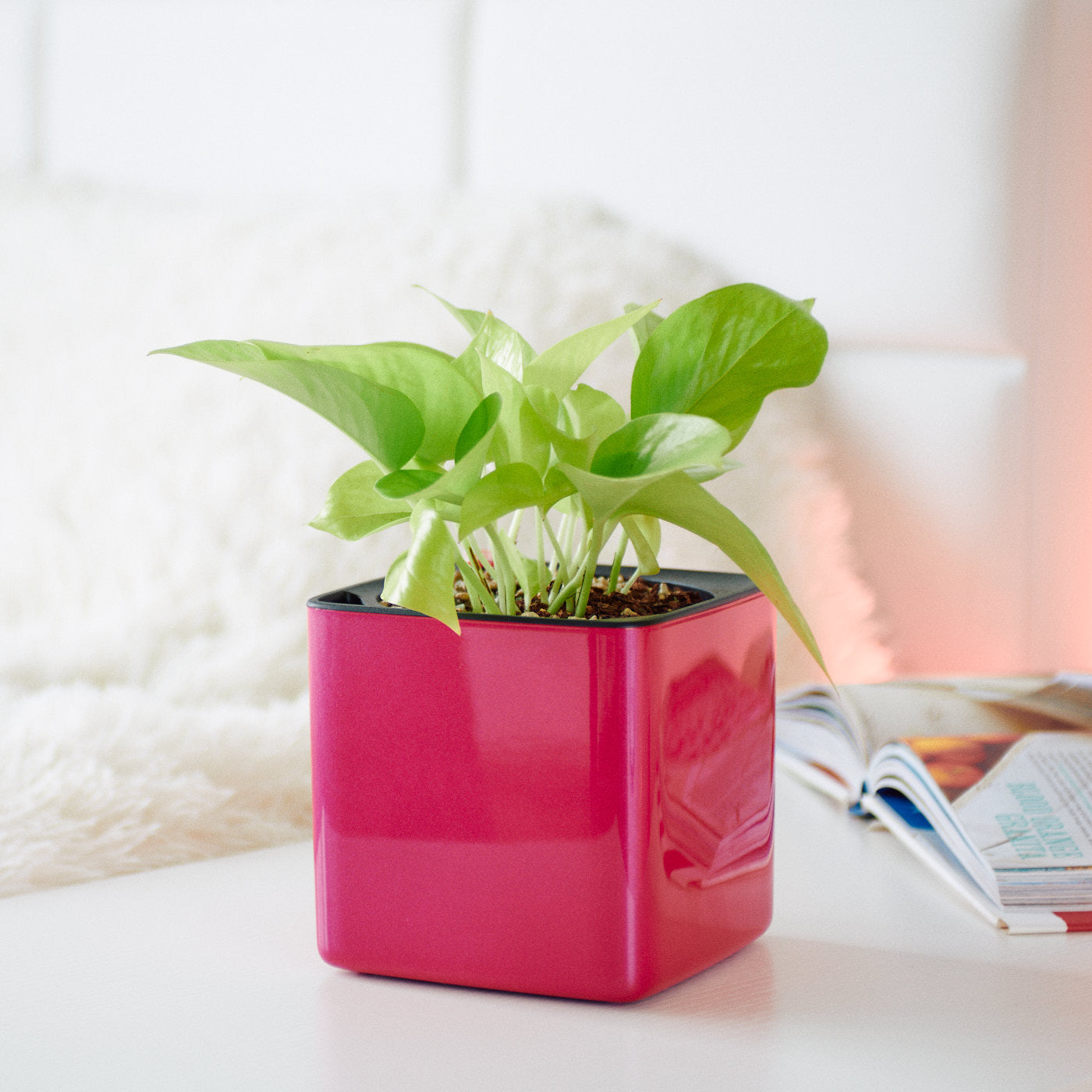 Pothos Neon In Lechuza Cube 14 Cherry Pie Planter | My City Plants