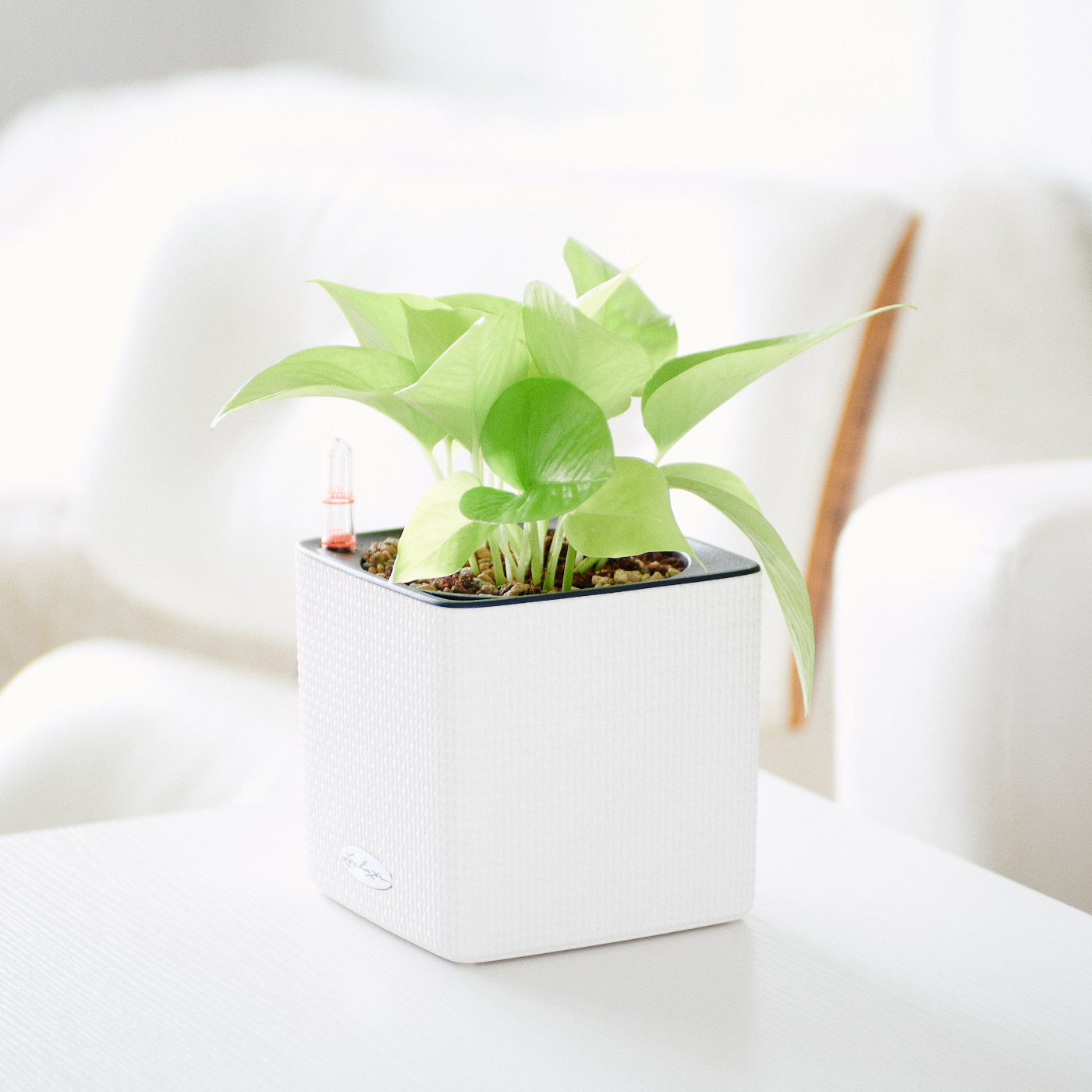 Pothos Neon Plant In Lechuza Cube 14 White Planter | My City Plants