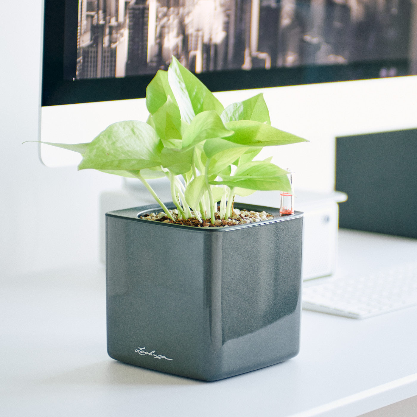 Pothos Neon In Lechuza Cube 14 Glossy Charcoal Planter | My City Plants