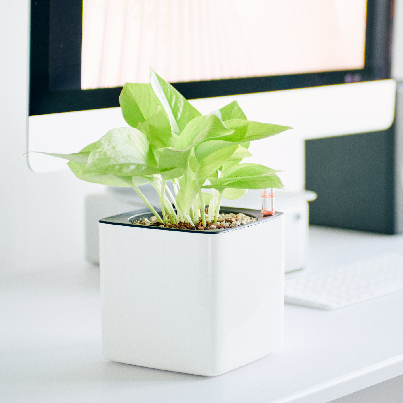 Pothos Neon In Lechuza Cube 14 Glossy White Planter | My City Plants