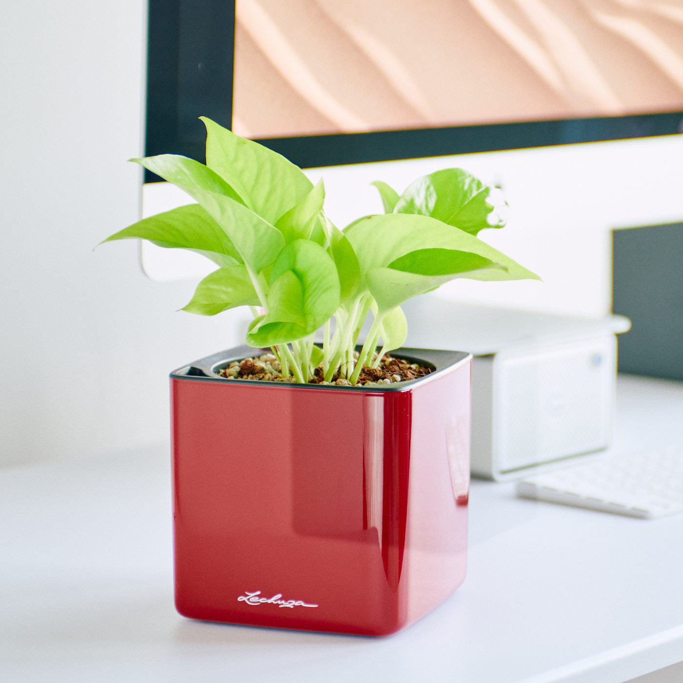 Pothos Neon In Lechuza Cube 14 Glossy Red Planter | My City Plants