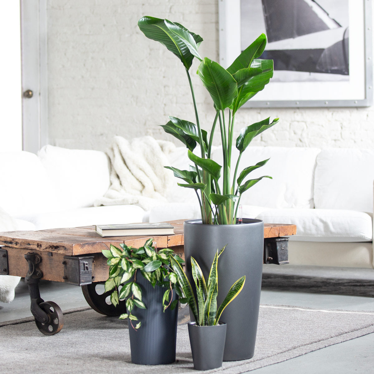 Nolita Plant Bundle - Charcoal | 3 Plants In The Bundle - My City Plants