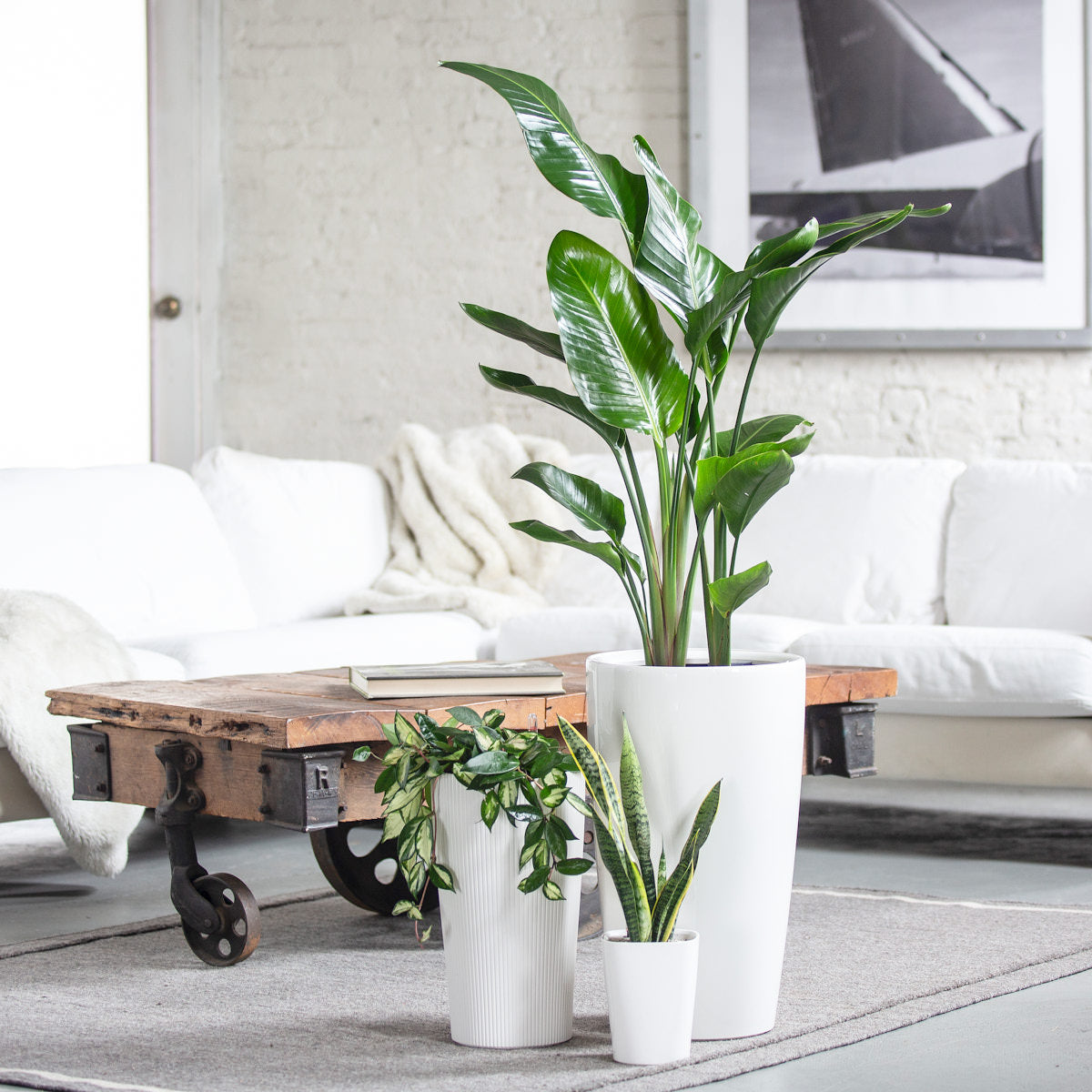 Nolita Plant Bundle - White | 3 Plants In The Bundle | My City Plants