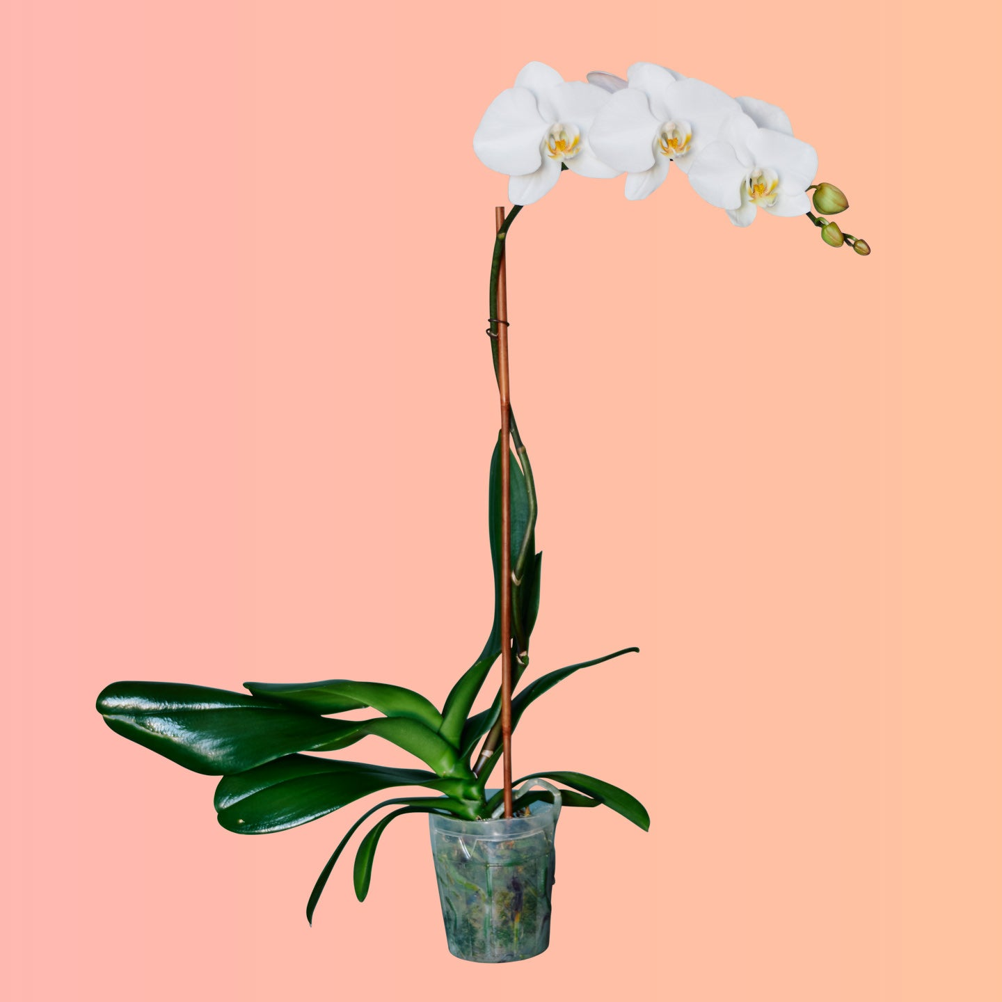 "Phalaenopsis Orchid In 5"" Nursery Pot"