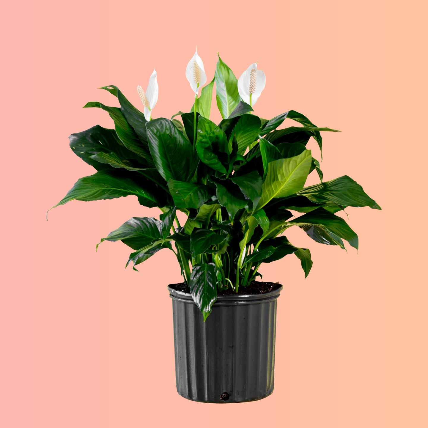 "Peace Lily Plant In 10"" Nursery Pot 