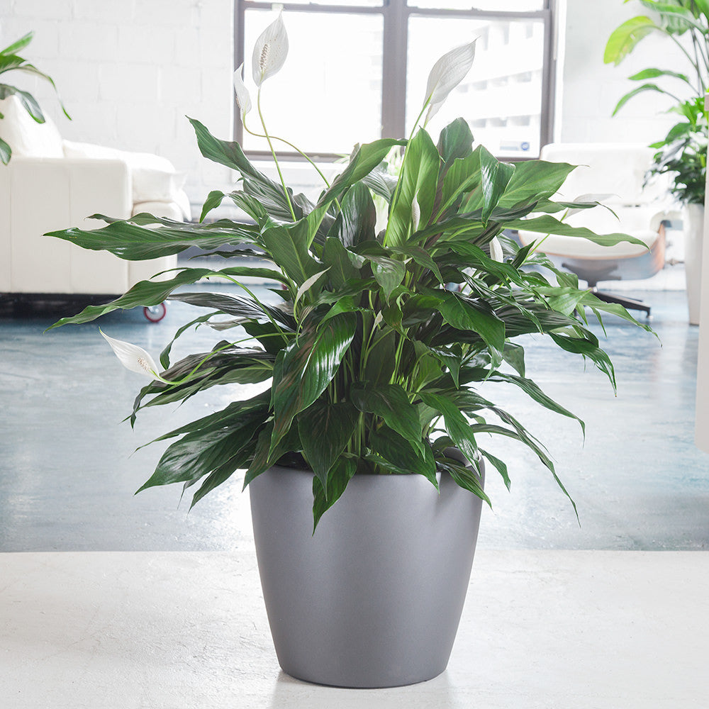 Peace lily plant potted in round classico 14 planter peace lily in charcoal metallic classico 14 planter my city plants izmirmasajfo Choice Image