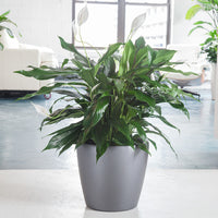 "Peace Lily in charcoal metallic Classico 14"" planter - My City Plants"