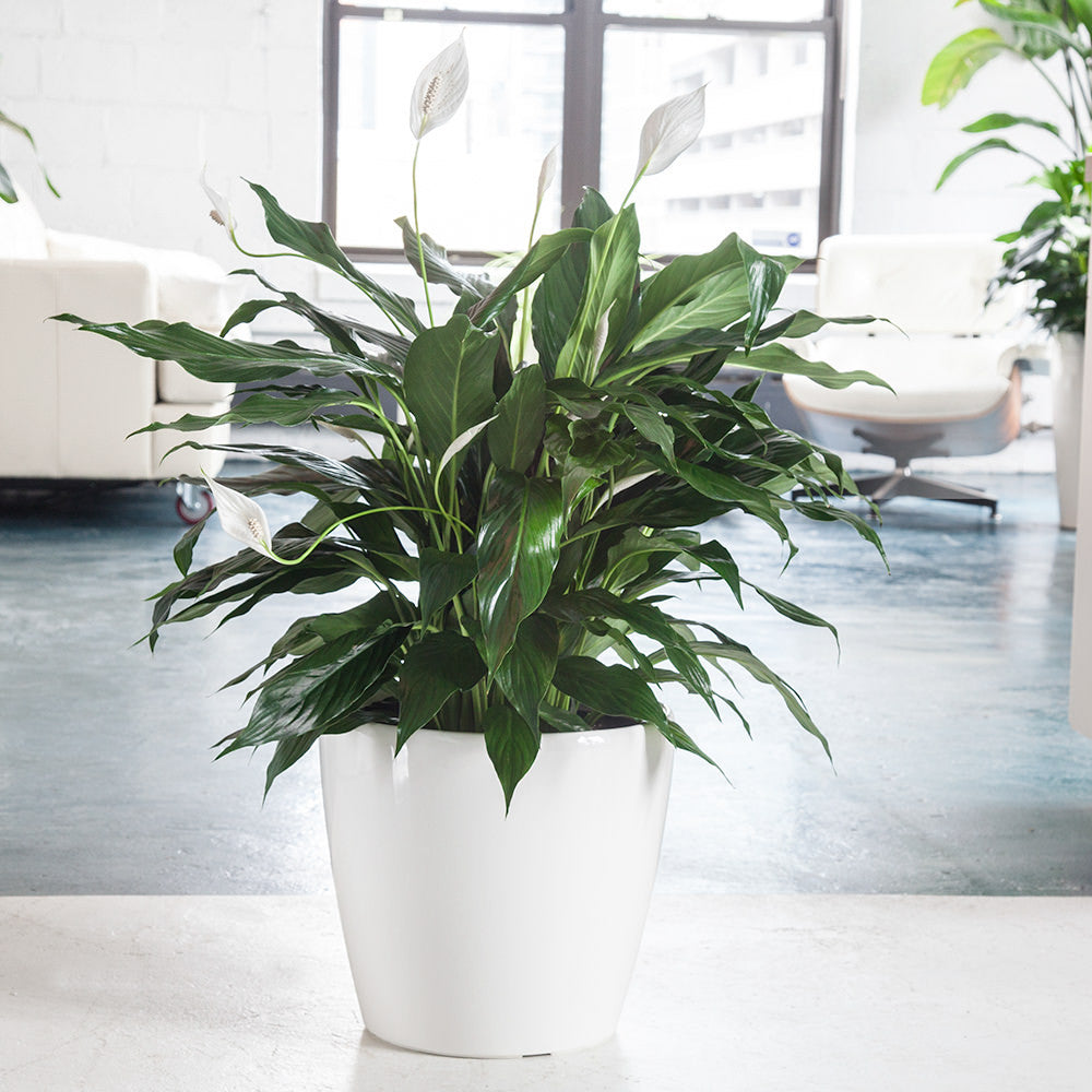 Peace lily plant potted in classico white planter my city plants peace lily in white classico 14 planter my city plants izmirmasajfo
