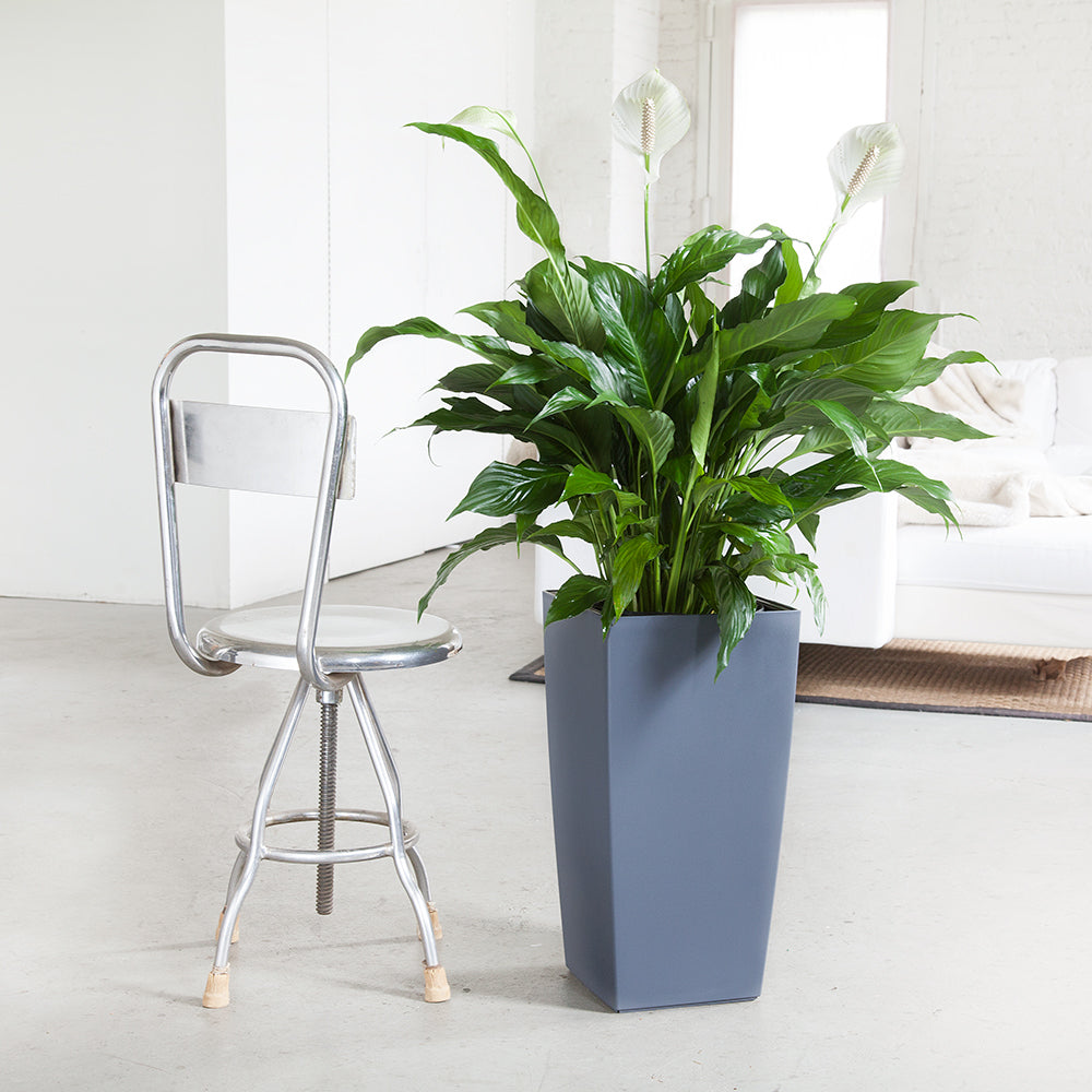 Peace lily plant potted in lechuza cubico slate planter my city plants peace lily potted in slate cubico planter my city plants izmirmasajfo