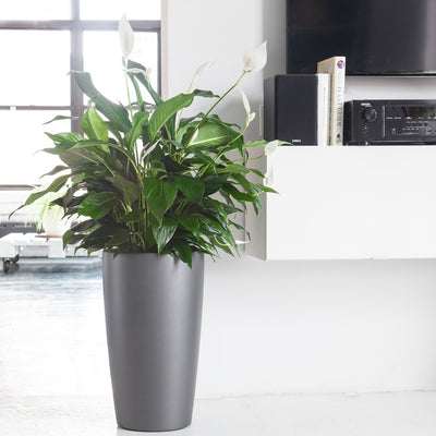 Peace Lily in charcoal Rondo planter